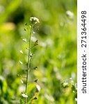 herbaceous plant in the desert   Shutterstock . vector #271364498