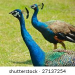 Two Colorful Peacocks Walking...