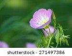 Pink Evening Primrose ...