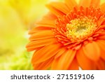 Orange Gerbera Close Up With...
