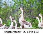 Chinese Goose Closeup In A...