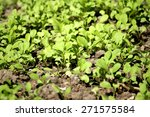 growing vegetable on ground