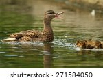 Female Mallard Duck Quacking T...