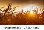 Dry Corn Field At The Beautiful ...