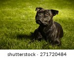 Staffordshire Bull Terrier In...