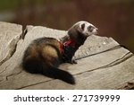 Ferret Posing On Bole In...