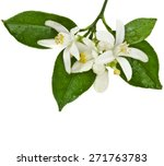 Citrus Blooming Branch Close Up ...