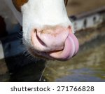 Close Up Of Cow's Tongue And...