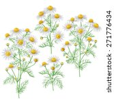 Bunches Of  Wild Chamomile...