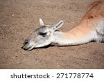 Small photo of Guanacoes (Lama guanicoe), The name guanaco comes from the South American language Quechua word wanaku (old spelling, huanaco). Young guanacos are called chulengo(s).