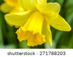 Close Up Of Yellow Daffodil...