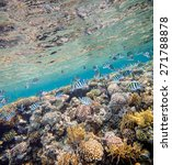 Small photo of Shoal of abudefduf.Underwater landscape. Red sea coral reef. Different corals background.