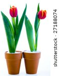 tulips isolated on white | Shutterstock . vector #27188074