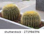 Golden Barrel Cactus In The...