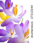 Close-up of violet and yellow spring crocus against white background - stock photo