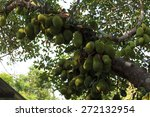 Cluster Of Breadfruits On The...