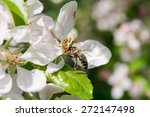 bee collects nectar in apple... | Shutterstock . vector #272147498