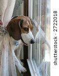 beagle dog looking out window - stock photo