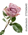 Stock photo single lavender colored rose with green leaves isolated on white background 272260640