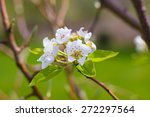 A Blooming Pear Tree Bunch Of...