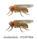 drozophila melanogaster  common ... | Shutterstock .eps vector #272297966