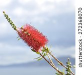 Red Callistemon With A Cloudy...