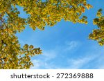 Oak Tree Branches With Autumn...