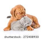 Stock photo bordeaux puppy dog playing with a scottish cat isolated on white background 272408933