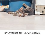 Stock photo playful little kitten lying on its back turning and watching the camera the big blue eyes with 272435528