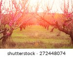 Orchard Of Peach Trees Bloomed...
