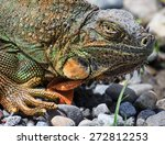 An Iguana Looks Big And Scary...