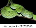 Snake Green Pit Viper  Asian...