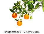 oranges on a branch. isolated... | Shutterstock . vector #272919188