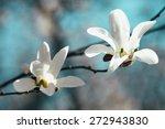 Beautiful White Magnolia...