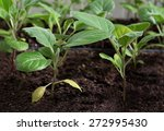 spring early cabbage seedlings... | Shutterstock . vector #272995430
