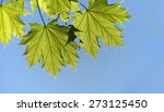 Green Leaf Of A Maple Tree...