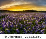 texas bluebonnet field in... | Shutterstock . vector #273231860