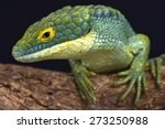 Small photo of Arboreal alligator lizard / Abronia graminea