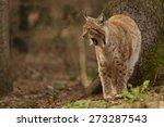 lynx lynx. weary eurasian lynx... | Shutterstock . vector #273287543