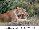 Lion Mother Cleans Her Babies...