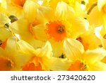 Yellow Daffodils Close Up