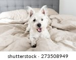 Stock photo west highland terrier puppy on human bed 273508949