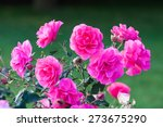 Stock photo pink roses and dew drops 273675290