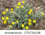 Small photo of Halimium lasianthum alyssoides blossoms. Chaguazo. Carpanzo.