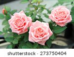 Pink Rose Flowers With...