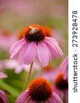Coneflowers  Echinacea Flower