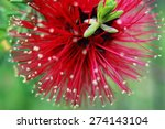 Australian Bottlebrush Flower