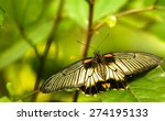 The Great Mormon Papilio Memno...