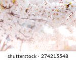 Cherry Blossom In Spring With...