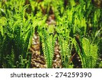 Young Shoots Of Ferns...